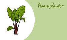 Caladium. Caladium Leaf Set. The Leaves Of The Caladium Plant. Hand Drawn Set Of Calladium Leaves. Botanical Illustration.