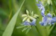 Blaublühende Jakobsleiter (Polemonium caeruleum)