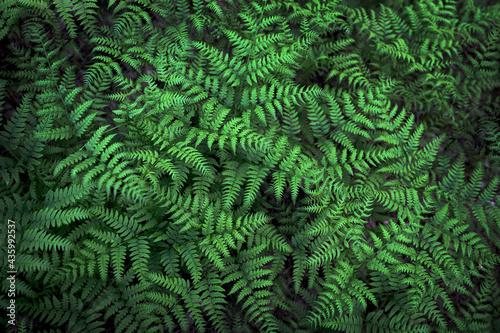 Obraz na płótnie Fern with green leaves background