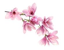 Beautiful Pink Magnolia Flowers On White Background