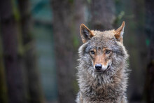 Timber - Grey Wolf, Canis Lupus, Portrait Facing Towards Camera With Plain Dark Background.
