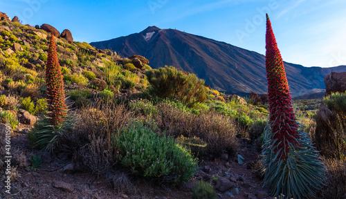 Photo Tajinastes en flor con el Volcán Teide al fondo