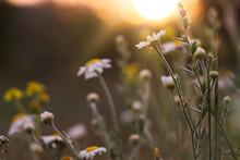 Beautiful Wild Flowers Growing In Spring Meadow, Closeup