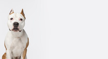 Close Up Portrait Of Purebred Dog Staffordshire Terrier Looking At Camera Isolated Over White Studio Background. Flyer