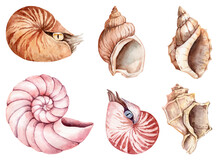 Collection Of Hand Panted Watercolor Sea Shells And Nautilus