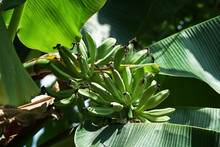 Banana Tree, Flower And Green Fruits.