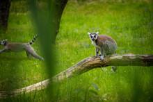 Lemur Cat Portrait In Zoo Park