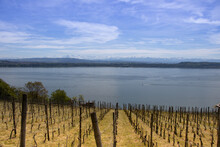 Vineyard At The Lake Biel, Switzerland.