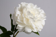 White Delicate Peony Flower Isolated On Grey Background.