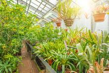 Plants Of Tropical Raw Bromeliad Forest Stand On Shelves And Hang In Hanging Pots A Greenhouse Garden.