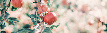 Ripe Red Apples On Branches In Orchard Garden. Sweet Fruits Hanging On Apple Trees At Farm. Eco Natural Background. Sunny Summer Or Autumn Fall Day In Countryside Outdoor. Web Banner Header.