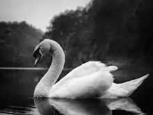 Black And White Film Style ; Close Up White Swan In The Lake