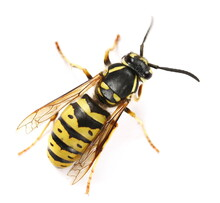 Common Wasp, Vespula Vulgaris Isolated On White Background, Top View