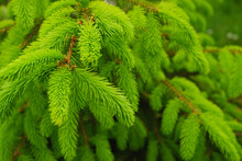 Young, Juicy, Green Shoots On A Coniferous Tree Close-up. The Evergreen Spruce Tree Grows Intensively In The Spring. Narural Background In Green Colors.