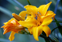 Two Lilies On Branch In Garden