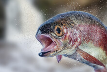 Trout With A Splash