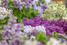 Lilac Bush Branches With Green Leaves And Bright Blossoming Flowers