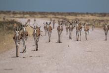 Springbok Group Walking On Street In Namibia Etosha National Park