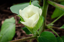 Flowering Cotton Blossom On The Growing Plant, From White To Pink Stage