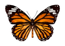 Illustration Of Orange Butterfly With Black On White Background