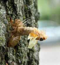 Cicada Nymph Arching Out Of Skin During Molting