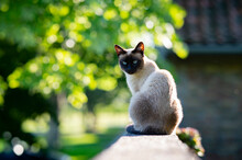 A Siamese Cat With Blue Eyes Is Sitting In The Garden