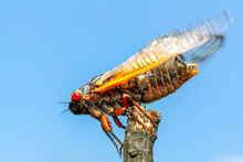 Brood X Group Of Periodical Cicadas Emerge Synchronously Every 17 Years. This Group Is Known As Great Eastern Broods. Newly Emerged Adult Swinging Wing Before  Flying Off A Wooden Stick