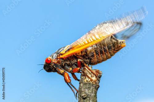 Fényképezés Brood X group of periodical cicadas emerge synchronously every 17 years