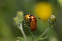 Soft Focus Of A Brown Beetle On A Yellow Bud At A Garden