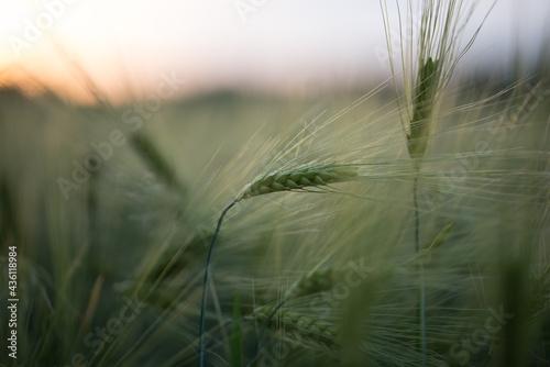 Foto Barley Field at sunset