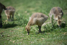 Canadian Geese - Goslings In A Grassy Area Eating