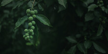Fresh Nature Background Concept, Green Forest Fruit In The Forest With Water Droplets.