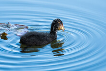 A Baby Coot Carrying The Food In Its Beak While Swimming Along The Lake