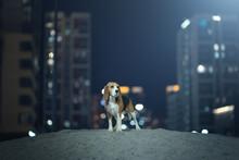 Adult Beagle Dog
