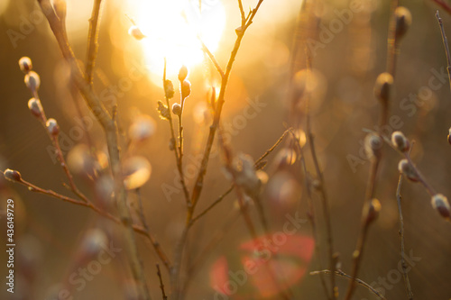 Fototapeta Natural Spring background with pussy-willow branches