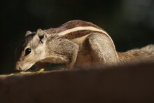 Adorable Chipmunk On A Rocky Surface Eating Seeds Fallen From A Tree