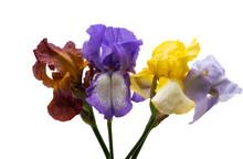 Beautiful Iris Flowers Isolated