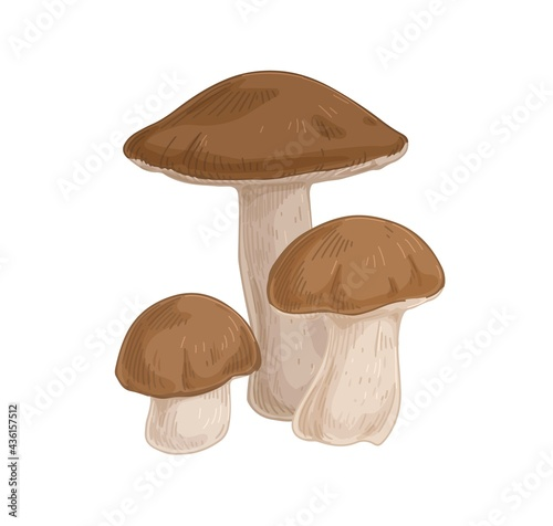 Birch bolete mushrooms with brown caps. Scaber stalks fungi composition. Fresh edible raw fungus. Organic natural forest food. Colored hand-drawn vector illustration isolated on white background