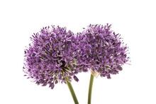 Allium Flower Isolated