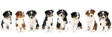 Group Of Puppy Isolated On White Background