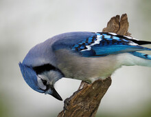 Blue Jay (Cyanocitta Cristata) Pecking At A Sunflower Seed On A Tree Branch On A Cloudy Afternoon.