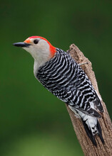 Red-bellied Woodpecker (Melanerpes Carolinus) Perched On A Branch After A Rain Storm.