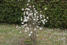 Magnolia Stellata Tree In Bloom On Early Spring In The Garden. White Flowers Of Starry Magnolia On Branch Against Photinia Hedge