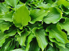 Heart-shaped Slightly Twisted Green Hosta Leaves, Top View, In The Botanical Garden Of St. Petersburg.