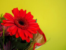 Close Red Large Gerbera Flower In A Bouquet Stands On A Green Background Side View. Red Flower