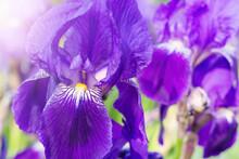 Purple Iris Flower Close-up. Blooming Violet Flowers Background