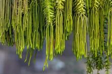 Kumpai Rantai (Phlegmariurus Phlegmaria Or Huperzia Phlegmaria) Green Plant, A Rare Species Commonly Known As Coarse Tassel Fern