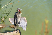 Great Gray Heron (Ardea Cinerea) Is Standing On A Rock In A Lake With An Open Beak And Open Wings.