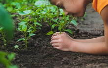 A Child Plants A Pepper Plant In The Garden. Selective Focus.