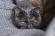 Brazilian Shorthair Cat Sleeping On Grey Cloth